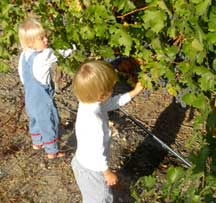 Newell Twins Picking Grapes
